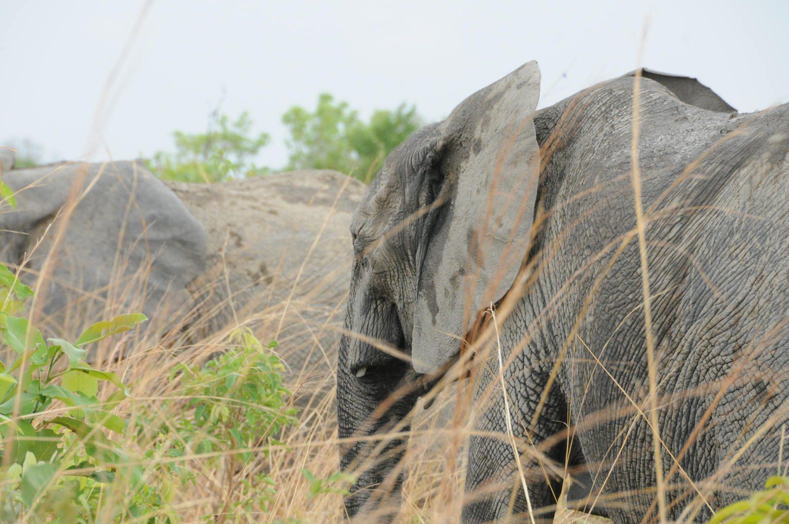 elephas elephant
