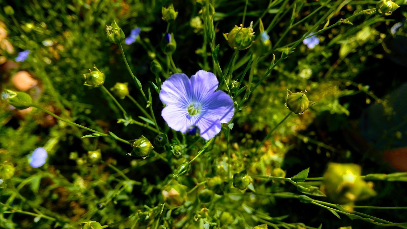 LINportant fleur de lin